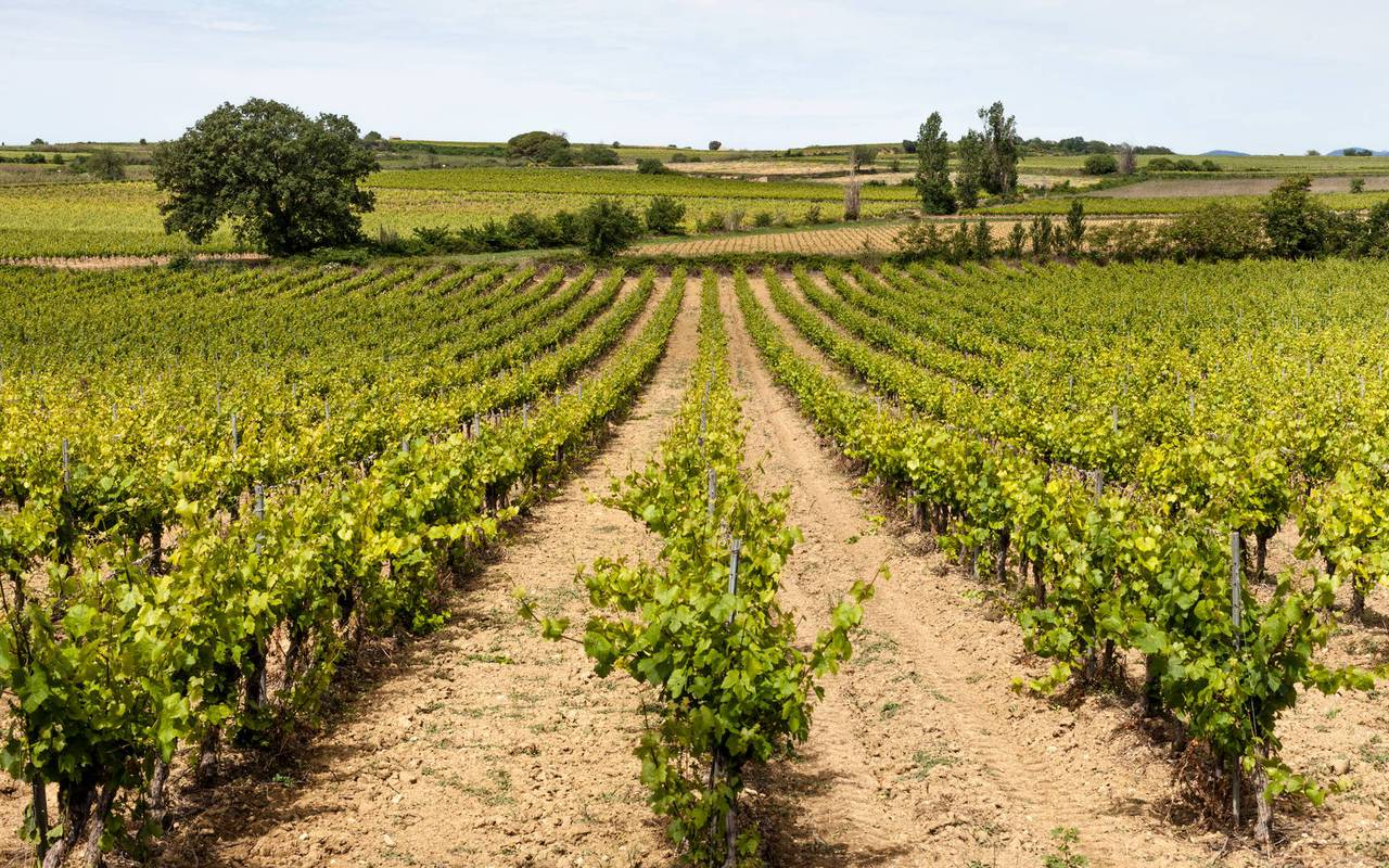 vineyards of the domain Château St Pierre de Serjac, wine tours in Languedoc.