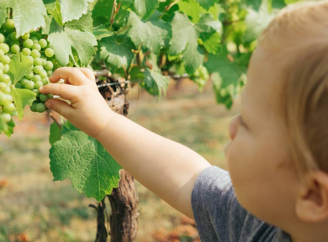 Toddler picking grapes in the Château de Serjac, a holiday lettings in the south of France