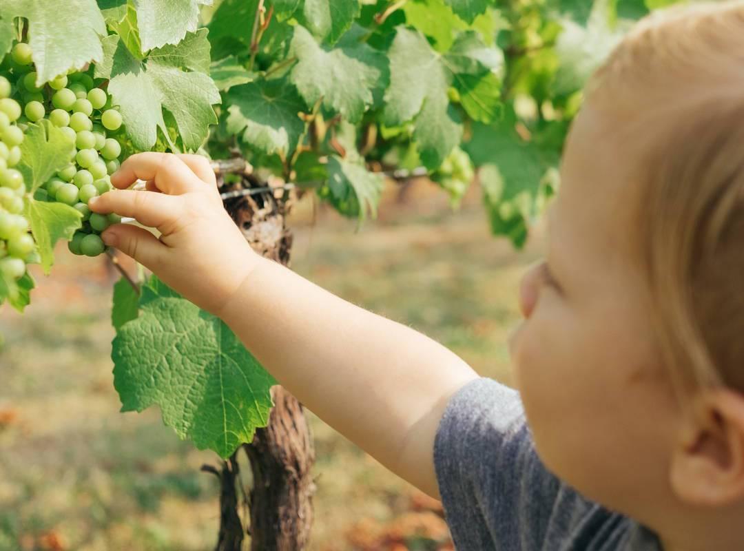 Petit enfant cueillant du raisin au Château de Serjac pour une nuit insolite en famille en Occitanie.
